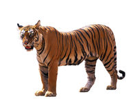 Bengal tiger. Isolated over white Stock Images