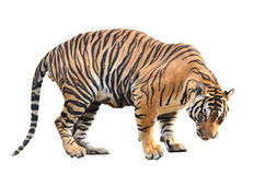 Bengal tiger isolated Stock Photo