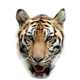 Bengal tiger isolated on white Royalty Free Stock Photos