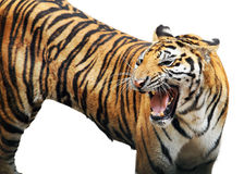 Bengal tiger isolated on white Stock Photography