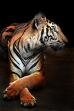 Bengal tiger isolated on white Stock Photos