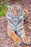 Bengal-Tiger, Königin des Waldes, nahes hohes des Tigers, katzenartig stockbilder
