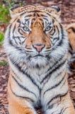 Bengal-Tiger, Königin des Waldes, nahes hohes des Tigers, katzenartig lizenzfreie stockfotografie