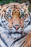 Bengal-Tiger, Königin des Waldes, Tigermaske, nahes hohes des Tigers, katzenartig stockfotos