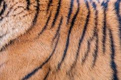 Bengal-Tiger, Königin des Waldes, Tigermaske, nahes hohes des Tigers, katzenartig stockbild