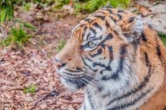 Bengal-Tiger, Königin des Waldes, Tigermaske, nahes hohes des Tigers, katzenartig stockbilder