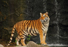 Bengal tiger. In Khao Kheow open Zoo Chonburi ,Thailand Stock Photos