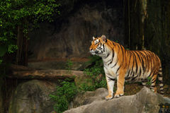 Bengal tiger. In Khao Kheow open Zoo Chonburi ,Thailand Royalty Free Stock Photo