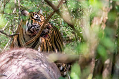 Bengal tiger with kill. Bengal tiger the largest of all cats in India is seen feeding on its prey in this very rare photograph Royalty Free Stock Photography