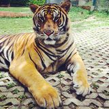 Bengal tiger. In tiger kingdom Royalty Free Stock Photo