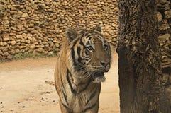 Bengal tiger, löst djur Fotografering för Bildbyråer