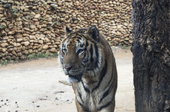 Bengal tiger, löst djur Royaltyfri Fotografi