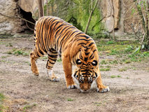 Bengal Tiger. Large Bengal tiger, Endangered spices royalty free stock images