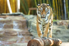 Bengal Tiger Stock Images