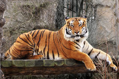 Bengal Tiger. Large Bengal tiger lying on a branch. Endangered spices Royalty Free Stock Photography