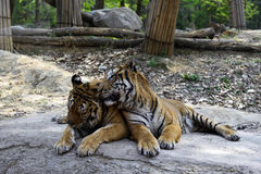 Bengal Tiger. Tiger is the largest cat species royalty free stock photo