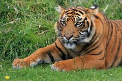 Bengal Tiger Laying in Green Grass at Daytime stock photography