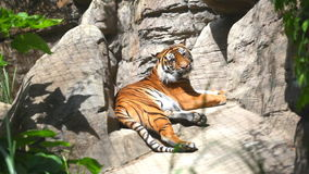 The Bengal tiger laying on rocks. Beautiful and dangerous Bengal tiger laying on rocks in sunny day stock video footage