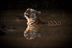 Bengal tiger lifts head in water hole Stock Photos