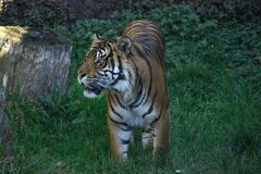 Bengal tiger looking at its prey eagerly before the hunt. stock photos