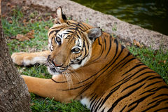 Bengal Tiger Looking Up Royalty Free Stock Photo