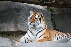 Bengal tiger lying on the ground Stock Images