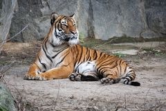 Bengal tiger lying on the ground Stock Photography