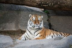 Bengal tiger lying on the ground Stock Image