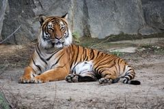 Bengal tiger lying on the ground Royalty Free Stock Image