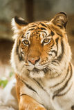 Bengal tiger, lying, relax, and watching on the ground Royalty Free Stock Photos