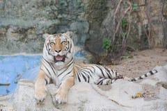Bengal Tiger lying on a rock. Stock Photos