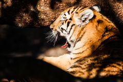 Bengal tiger lying in the shade Royalty Free Stock Image