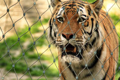 Bengal tiger. A magnificent specimen of Bengal Tiger Royalty Free Stock Photography