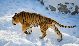 Bengal Tiger. Male bengal Tiger walking on snow Stock Images