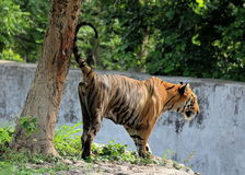 Bengal Tiger marking his Terrotory - Chattbir Zoo - Chandigarh - India. The Royal Bengal Tiger is one of the five sub-species distributed through Asia. Today Stock Photos