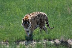 Bengal tiger on the move. Stock Image