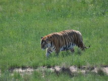Bengal tiger on the move. Royalty Free Stock Photo