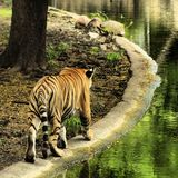 Bengal Tiger Royalty Free Stock Photography