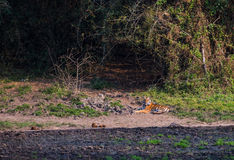 A bengal tiger near salt earth in the forest Royalty Free Stock Photos