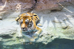 Bengal tiger near the water Royalty Free Stock Photography