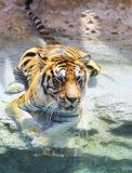 Bengal tiger near the water Stock Photo
