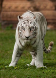Bengal Tiger. NThe Bengal Tiger is a subspecies of tiger primarily found in India and Bangladesh. They are also found in parts of Nepal, Bhutan, Myanmar and Stock Photo