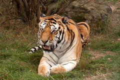 Bengal Tiger with open mouth Stock Photos