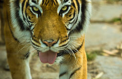 Bengal tiger with open mouth Royalty Free Stock Photo
