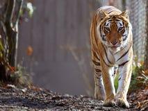 Bengal tiger på zooen Arkivfoto