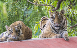 Bengal Tiger Pair. Pair of Royal Bengal Tiger (Panthera tigris tigris) resting royalty free stock photos