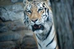 Bengal-Tiger Panthera der Tigris der Tigris an Philadelphia-Zoo Stockfotos