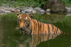 Bengal Tiger (Panthera Tigris) half submerged in a swamp Royalty Free Stock Photography