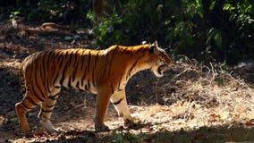 Bengal tiger, Panthera tigris tigris, i skog, Kanha nationalpark, Madhya Pradesh, Indien, Asien arkivfoton
