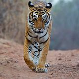 The Bengal tiger is a Panthera tigris tigris population in the Indian subcontinent. royalty free stock photo